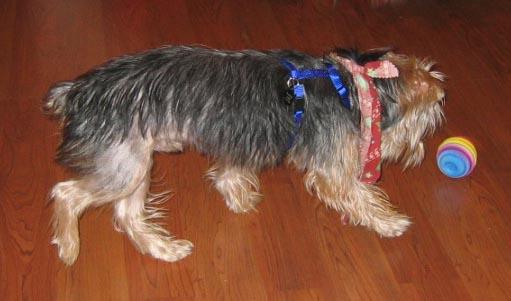 My yorkshire terrier losing hair