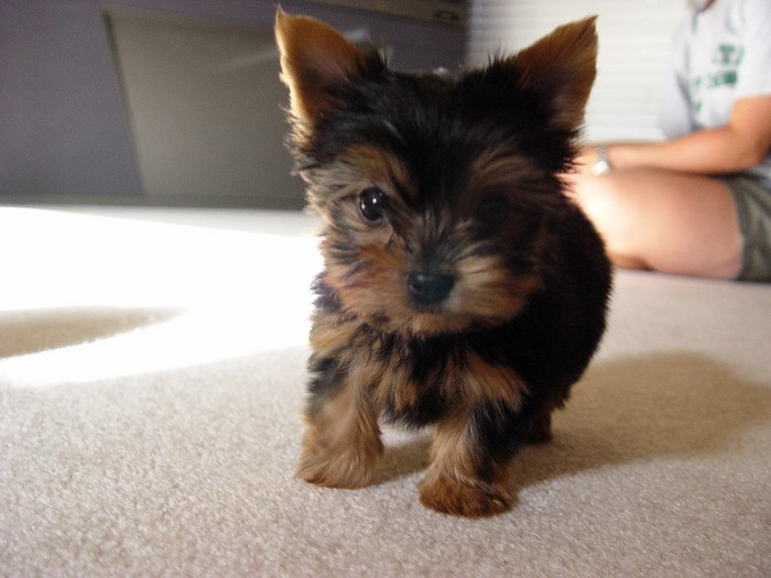 YorkieTalk com Photo Gallery - Kiwi my puppy - Powered by