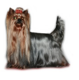 yorkie with tail long tail what do you do page 5 yorkietalk com 6549