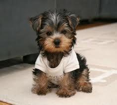 Is This Puppy A Yorkie Yorkietalkcom Forums Yorkshire Terrier