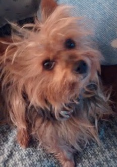 What Is Your Favourite Yorkie Haircut Yorkietalkcom Forums