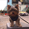 Hello! I'm Joey Buttons- New to YorkieTalk.com!-screen-shot-2015-07-09-9.57.13-am.png